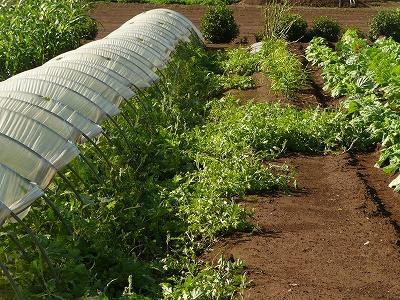 収穫直後の抑制西瓜畑・ズーム