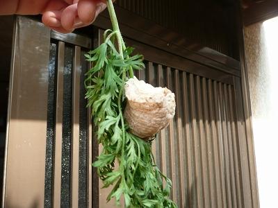 人参の葉っぱに産み付けられたカマキリの卵