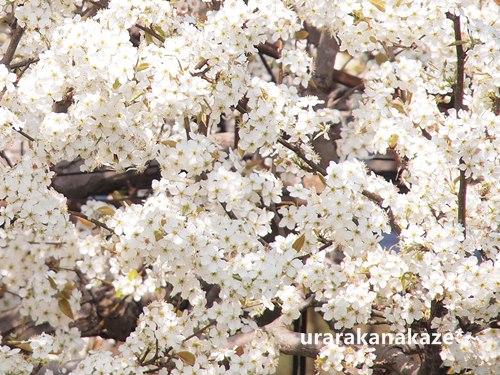 梨の花 花言葉「和やかな愛情 博愛」
