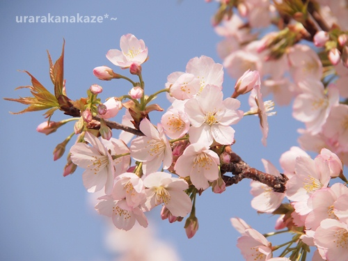濃いめピンクの桜の花