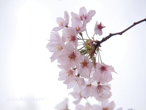ふんわり桜の花