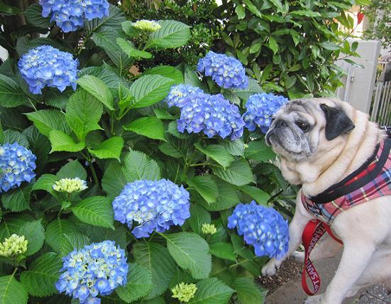 これはちょっと前に撮ったので、まだ花が小さいです(^_^;)