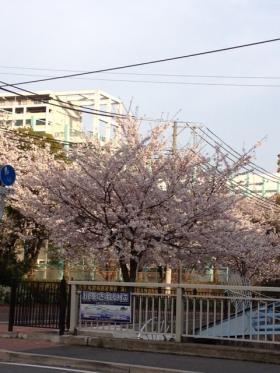 sakuramankai_convert_20120412230051.jpeg
