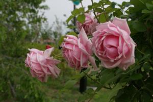 20130520-道すがらのバラ2