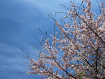 刈場坂の桜