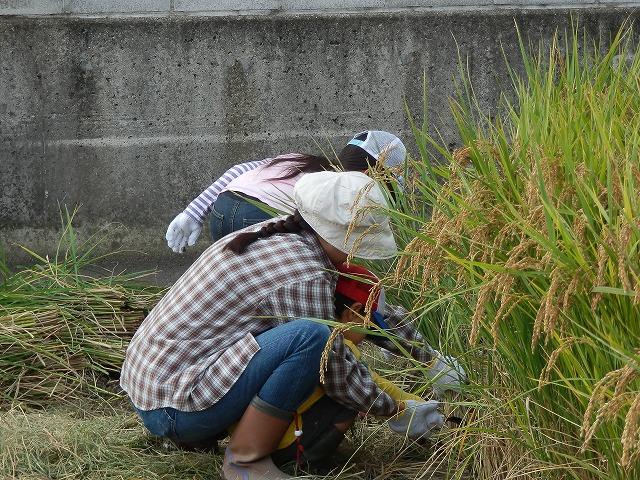2011.10.10 稲刈り体験 017