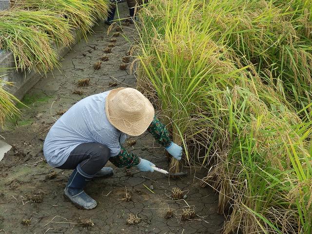 2011.10.10 稲刈り体験 014