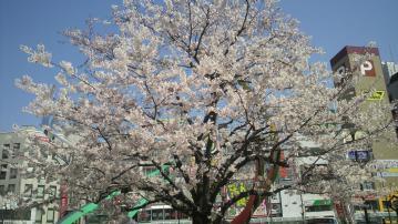蒲田駅前桜