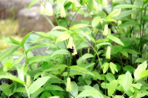 お花の中にもぐるクマ蜂君
