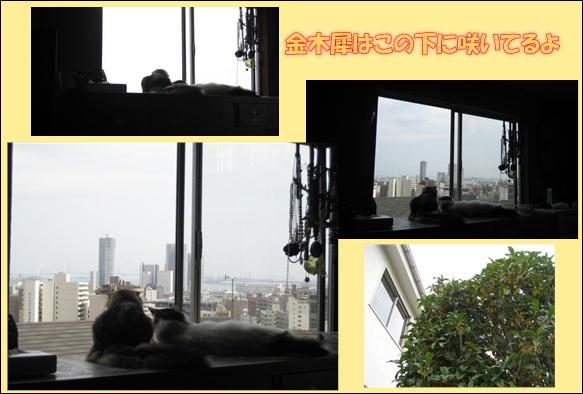 金木犀 003