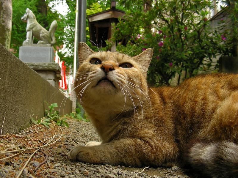 稲荷神社の猫