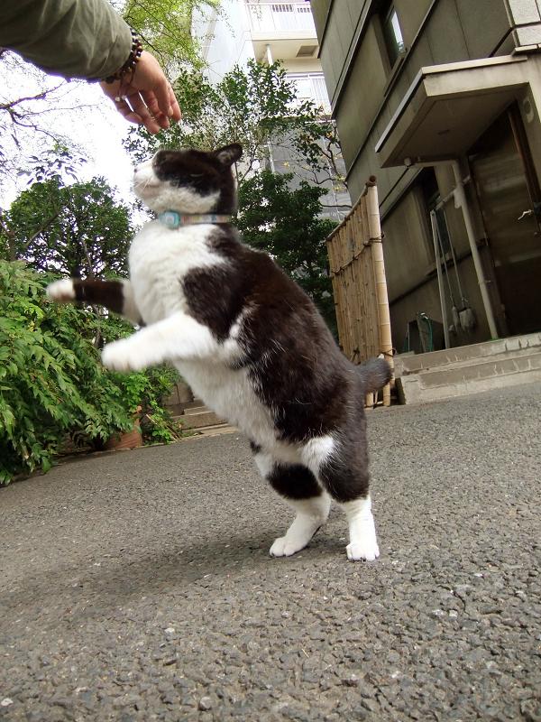 2足歩行する猫