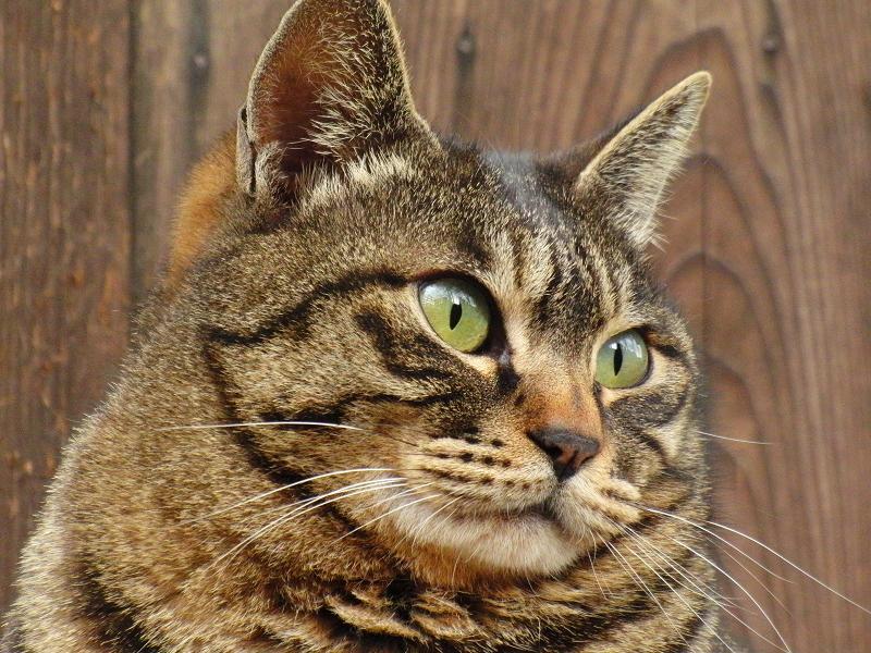 メタボなキジトラ猫