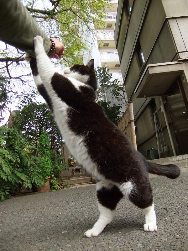 2足歩行する黒白猫
