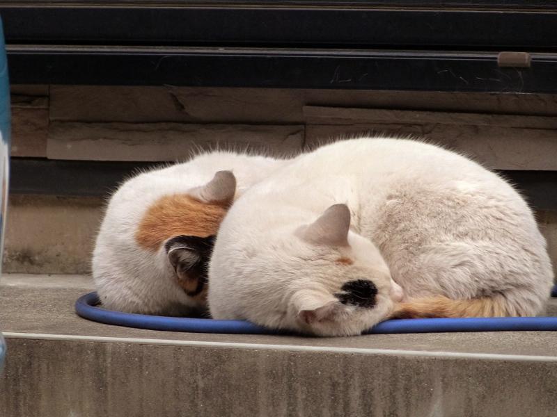 並んで寝てる仲良し猫