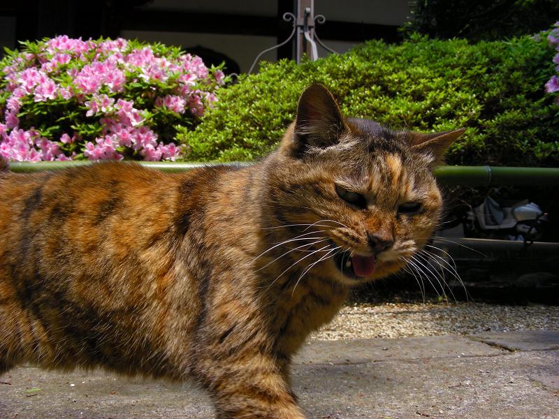ツツジ咲く初夏の猫
