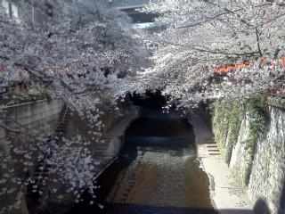 megurogawa-sakuramannkai.jpg