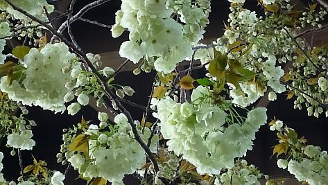 鬱金の桜2