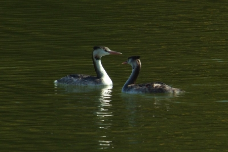 gcrested-grebe-pair