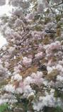桜餅さくら