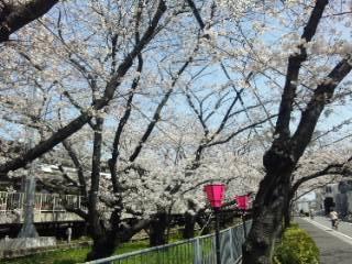 2013桜 晴れ1