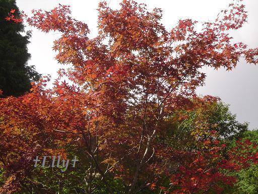 六甲山麓 里山便り~里山で自由な暮らし方~-紅葉002