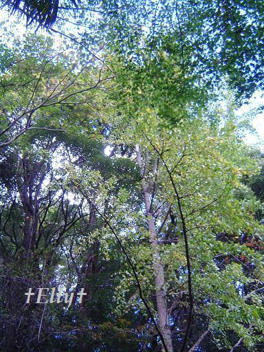 $六甲山麓 里山便り~里山で自由な暮らし方~-銀杏02