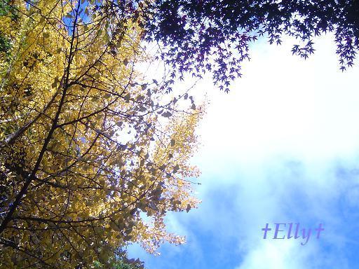 六甲山麓 里山便り~里山で自由な暮らし方~-銀杏04