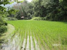 初夏から夏へ向かう田んぼの情景