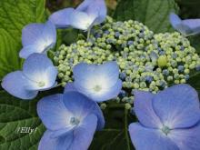里山の梅雨を彩る紫陽花