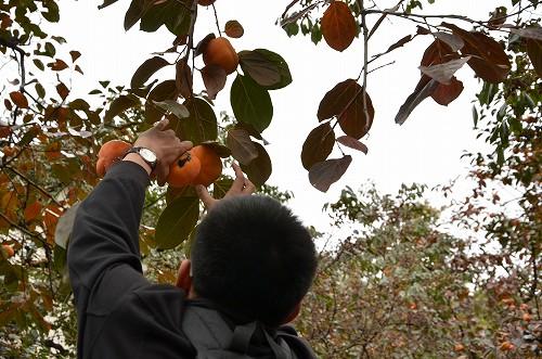 020万里の長城までの途中の道で柿を発見!大頭(da tou:文字通り頭が大きいからこのあだ名がついた。)が無断で収穫。