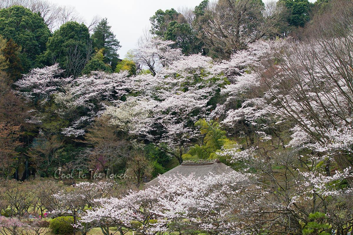 2013sakura06.jpg