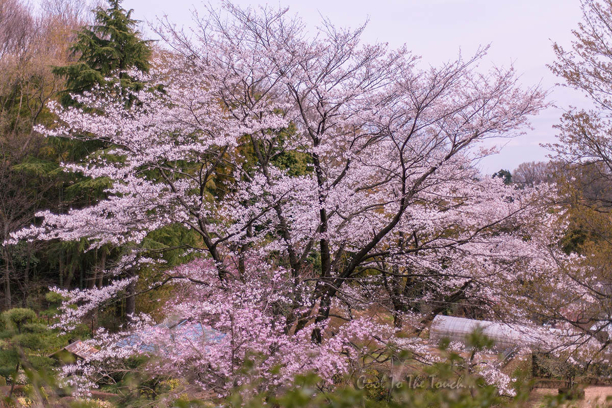 2013sakura09.jpg