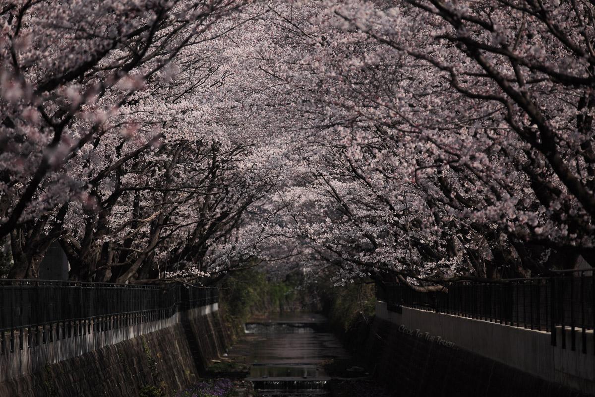 sakura49001.jpg