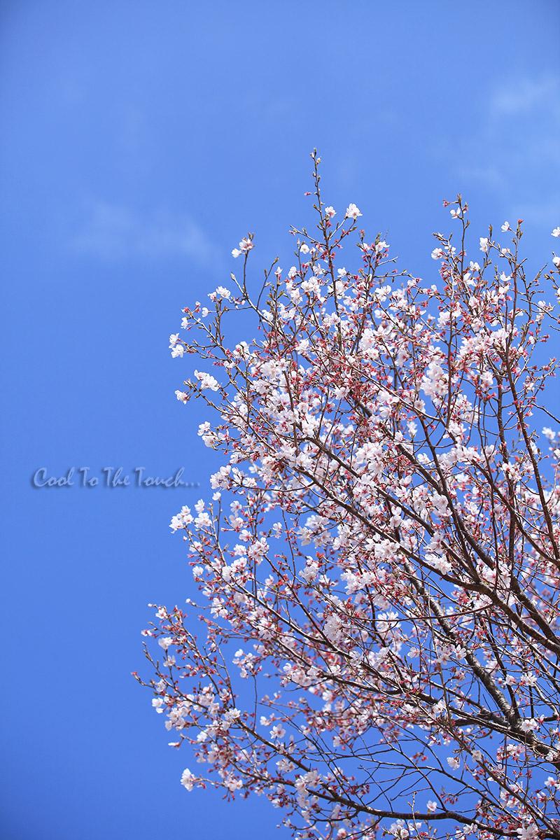 sakurabye405.jpg