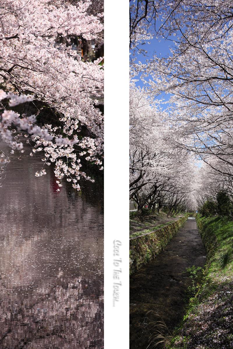 sakurahubuki3.jpg