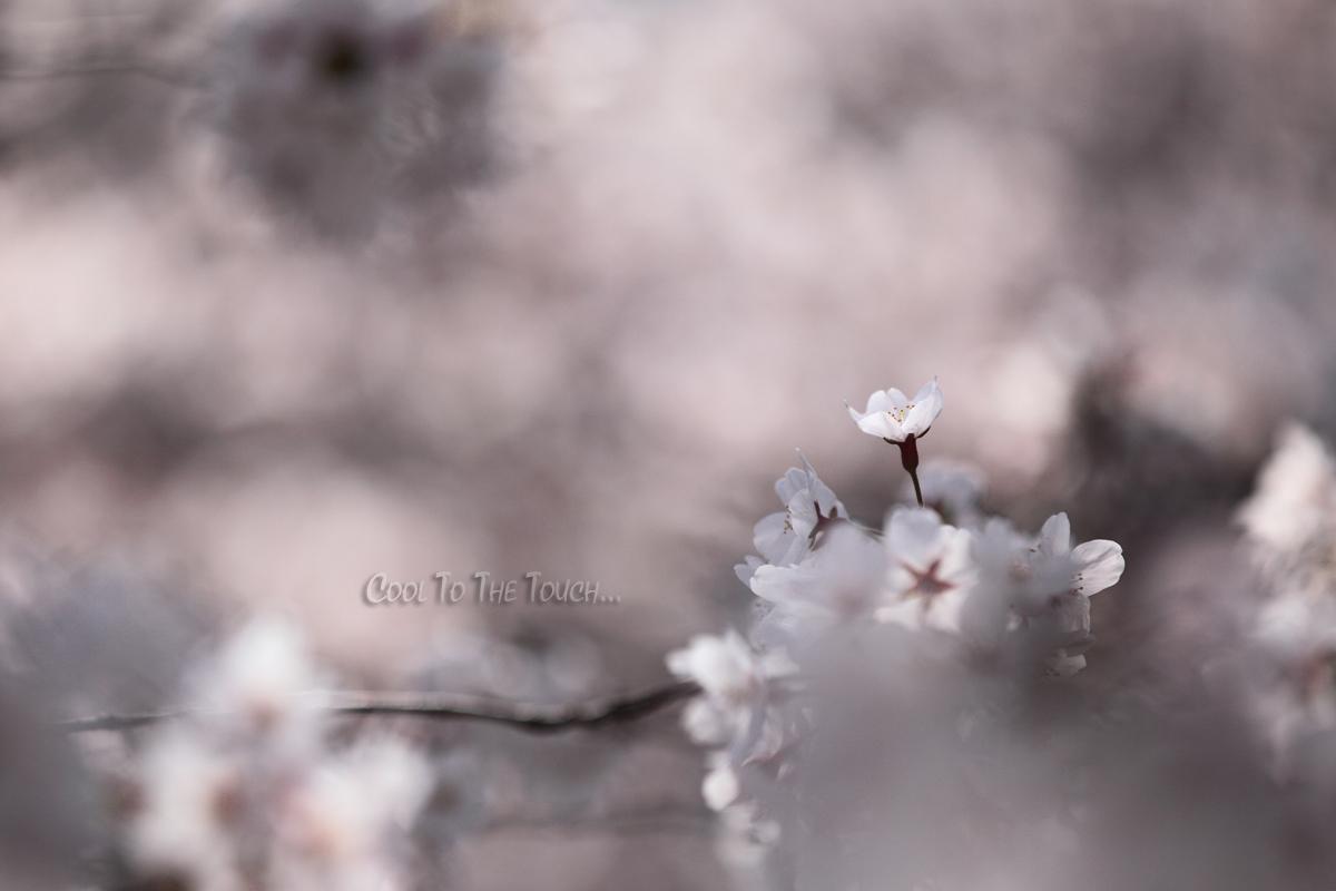 sakuramacro005.jpg