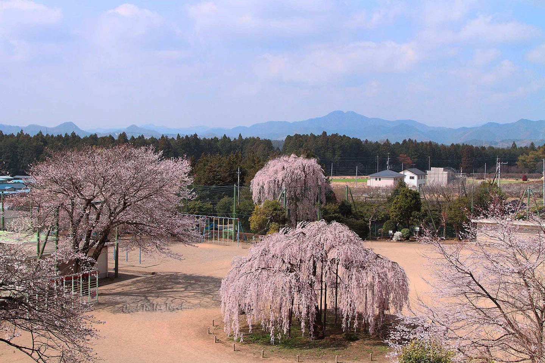 tabisakura001.jpg