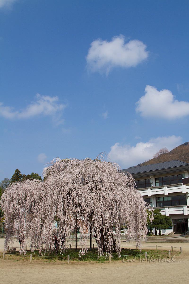 tabisakura002.jpg