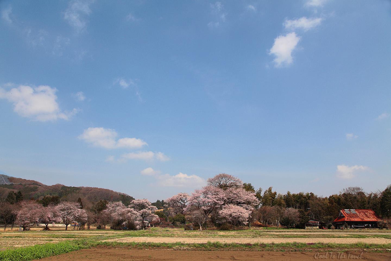 tabisakura005.jpg