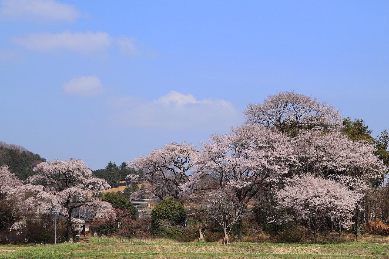 tabisakura006.jpg