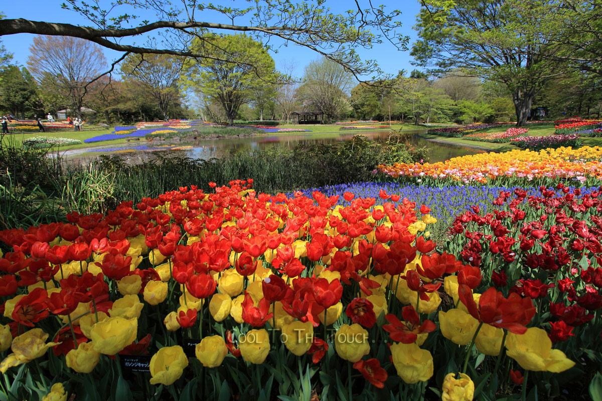 tulip301.jpg