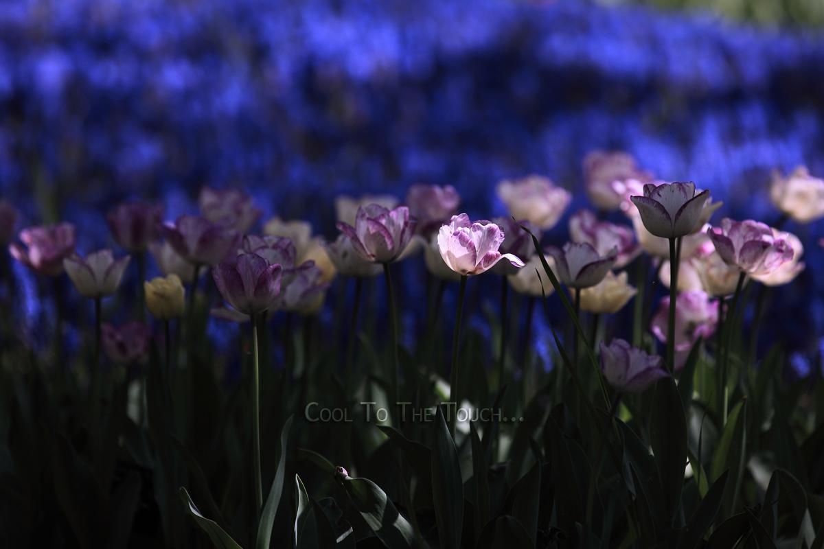 tulip302.jpg