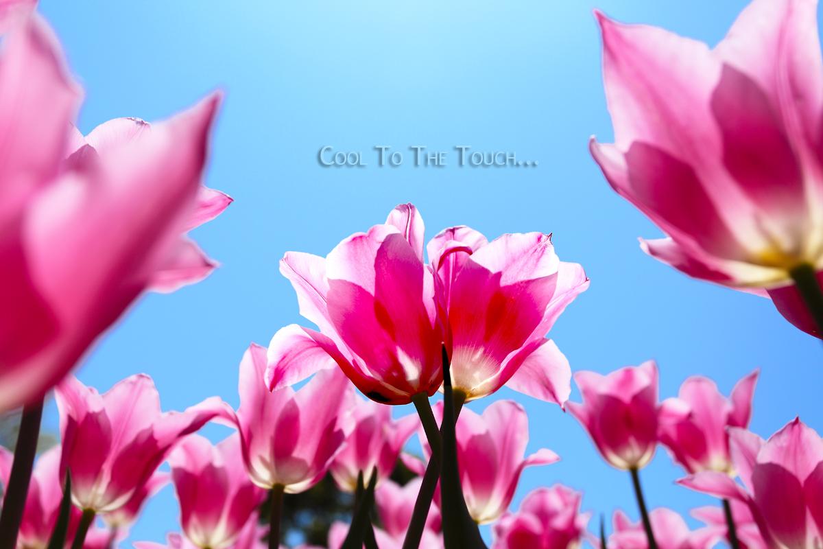 tulip303.jpg