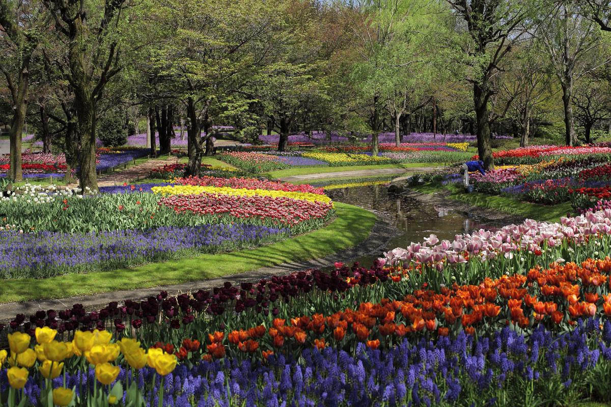 tulip42501.jpg