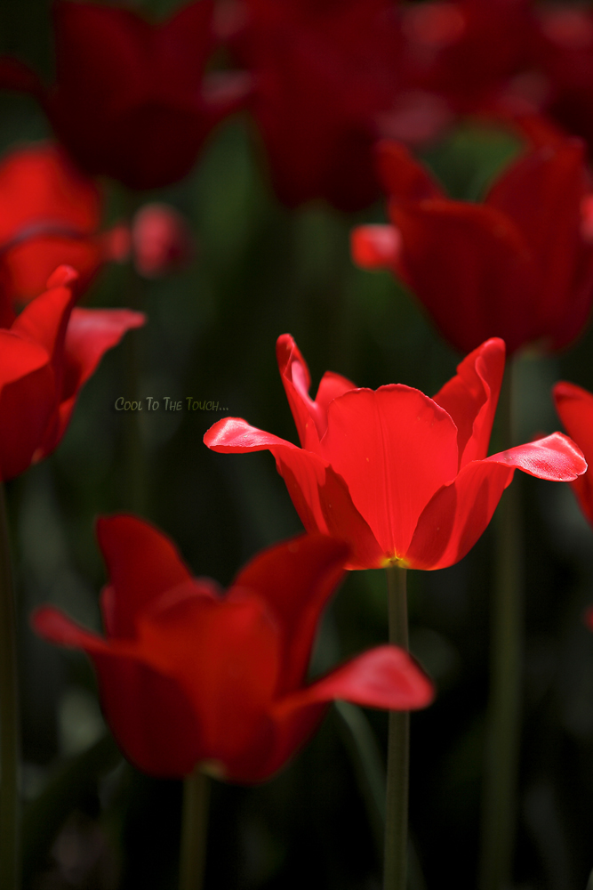 tulip42502.jpg