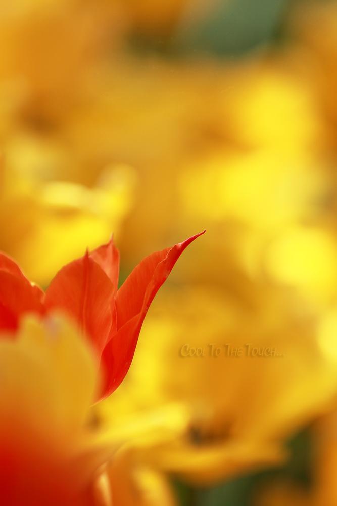 tulip42503.jpg