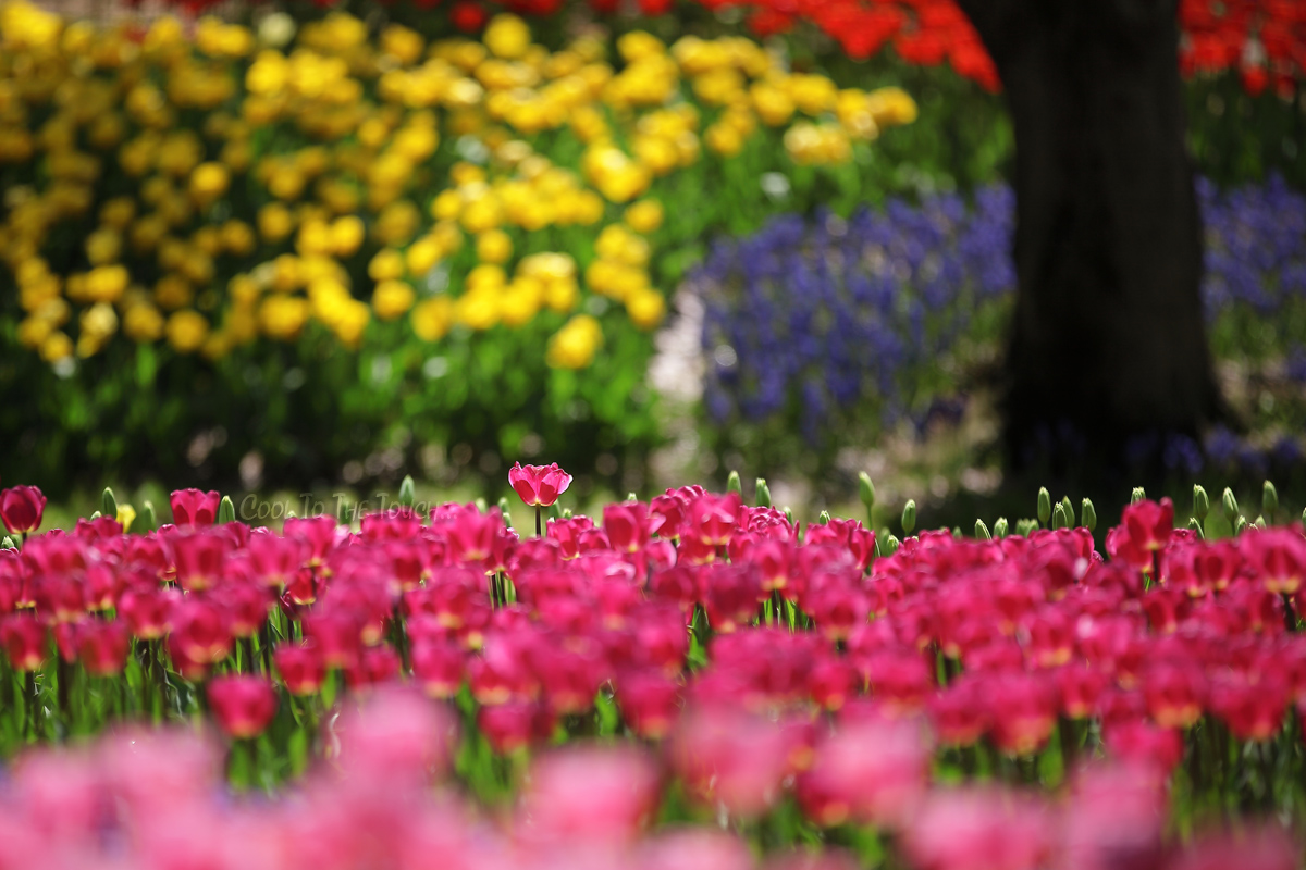 tulip42504.jpg