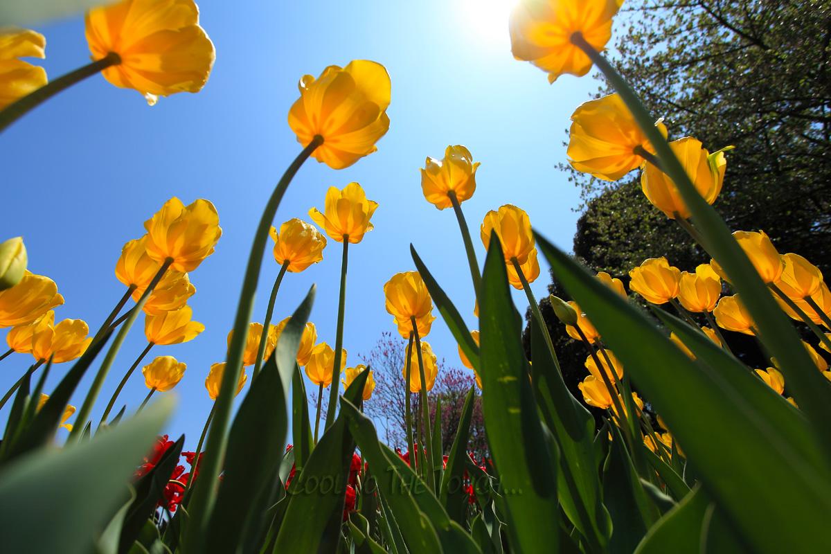 tulip42505.jpg