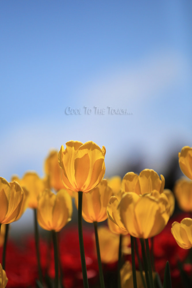 tulip427-1.jpg